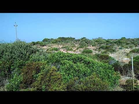 Zikaden auf Mallorca