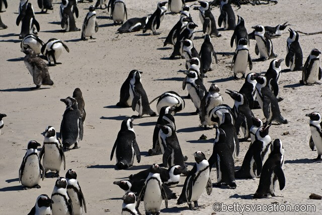 Brillenpinguine am Boulder Beach