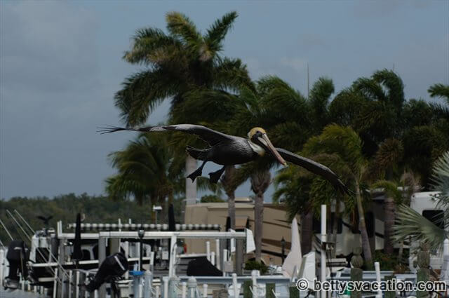 Pelikan bei Everglades City
