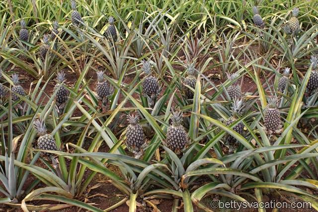 Dole Plantation (1)