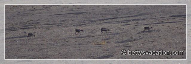 Caribou Herde