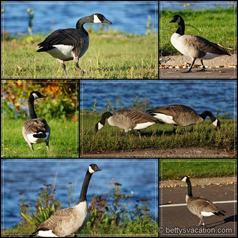 Canada Geese Collage