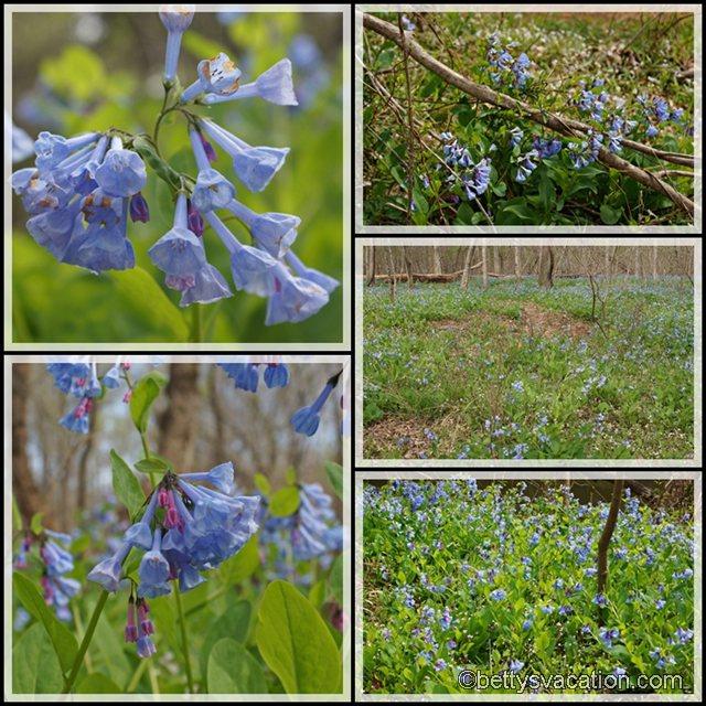 Collage Bluebonnets