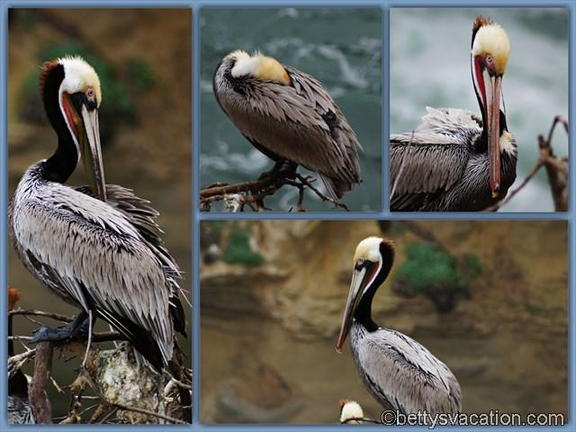 Pelicans La Jolla
