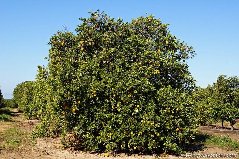 2 - Orangenbaum