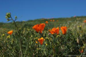 Antelope Valley California Poppy Reserve, Lancaster, Kalifornien