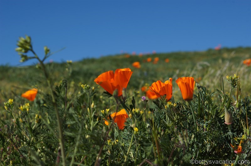 Antelope Valley California Poppy Reserve, Lancaster, Kalifornien